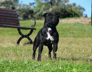 Purebred Staffordshire Bull Terrier puppies For Sale