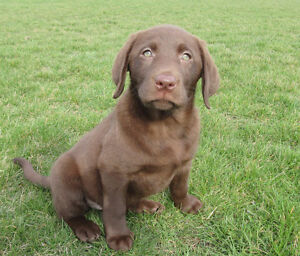 Purebred Chocolate Lab Puppy- Ready Now!!