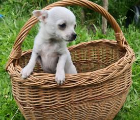 Ready now - One little boy chihuahua Cross pomeranian puppy