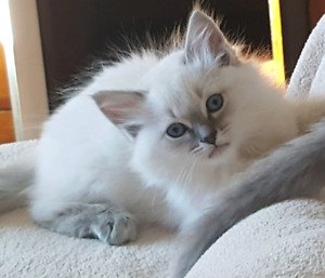 TICA Ragdoll kittens blue lynx, blue point, blue mink