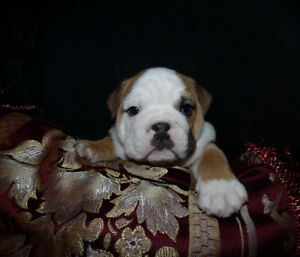 Looking for foster families for my English Bulldog male/female