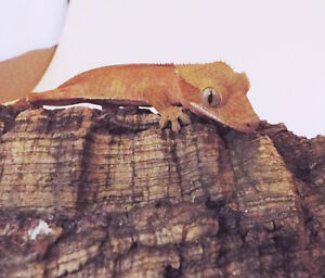 FOR SALE: PATTERNLESS Crested Geckos