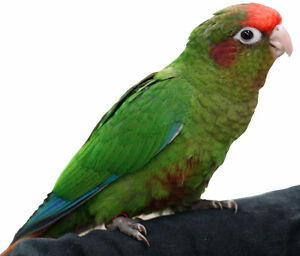 Baby Rose Crown Conures - last one