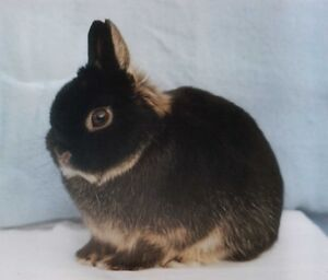 WANTED Purebred Netherland Dwarfs DOES ONLY