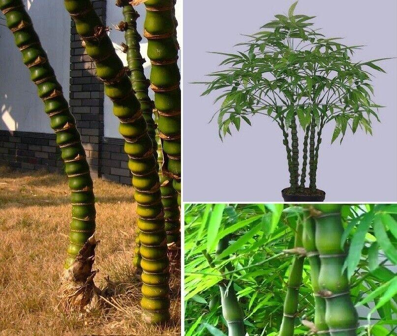 Buddha Bambus exotische duftende Pflanzen für die Wohnung drinnen Zimmerpflanze