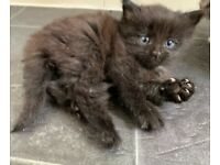 Maincoon Mixed Kittens