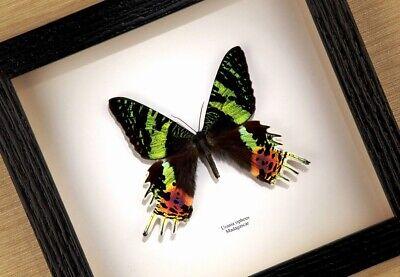Urania ripheus - echter Schmetterling im Schaukasten/Rahmen hinter Glas