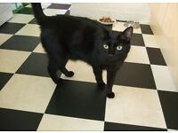 Black short haired cat with green collar lost on Inverness place, off Albany Rd