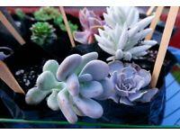 Various Succulents and Sedums Plant - 12 x Assorted Plants in pots