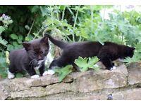 Kitten x2 (1x male, 1x female)