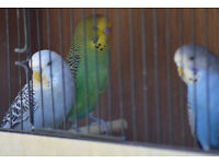 Baby Budgies For Sale - Ready Now