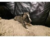 Full breed AM/STAFF BULLY