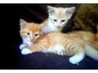 Persian x mainecoon champagne kittens rare female forsale ready now
