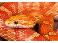 VARIOUS CORNSNAKES for sale