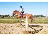 15.3 Irish Sports Horse
