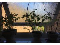 Real Sweet Pea Plants in Oversized Cups - Flourishing Sweet Pea Plants
