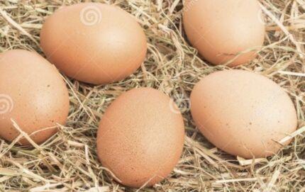 Fertile hatching australorp chicken eggs