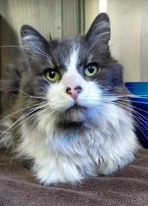 "Adult Male Cat - Domestic Long Hair: ""Tyson"""