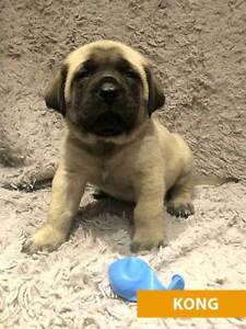 Old English Mastiff puppie; (Pure Breed both parents).