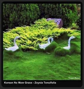 Korean No Mow Grass (Zoysia Tenuifolia) 10 Pots Free Delivery $75 Killara Ku-ring-gai Area Preview