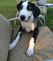 ONLY 1 LEFT!! Purebred Great Dane Puppies