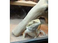 Two adult bearded dragons with vivarium