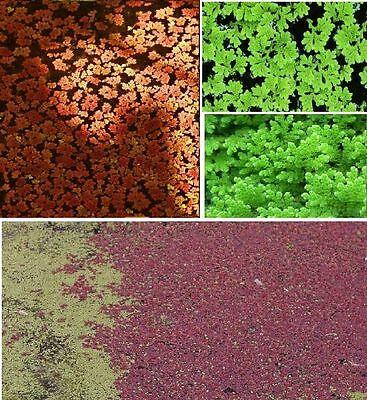 Feenmoos winterharte schnellwüchsige frostharte grüne Teichpflanzen gegen Algen