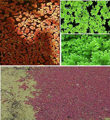 Deko Dekoration : Feenmoos - Wasserpflanzen /Schwimmpflanzen für den Gartenteich