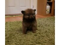 Stunning pomeranian puppies ready in 2 weeks