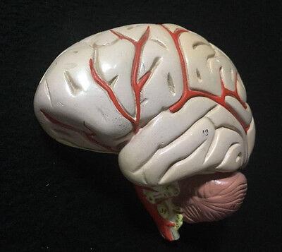 Denoyer Geppert Vintage Antique Plaster Left Side Human Brain Anatomical Model