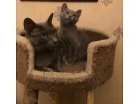 Beautiful Russian blue pedigree kittens
