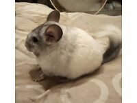 Stunning baby male chinchilla