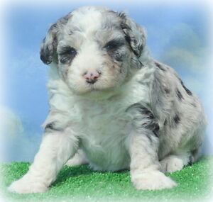 AUSSIEDOODLE puppies coming in March !