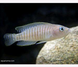 Wanted: Shell Dweller Neolamprologus multifasciatus
