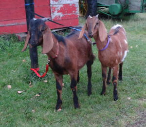 Pure Bred Nubian Twin Goats