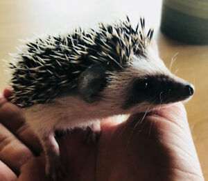 Adorable baby Pygmy Hedgehogs! Well socialized and very tame!