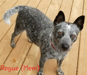 Blue Heeler Puppies Due Nov 4th