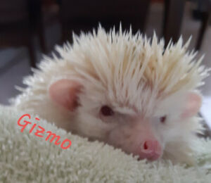 Albino Hedgehog - 2 years old - 250$ incl. 2 cages