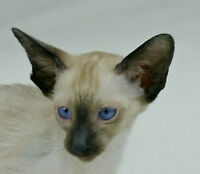 EBONY & CHOC TAB ORIENTAL KITS w GREEN EYES & SEAL SIA MALE KIT
