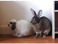Mini lop and rex bonded male/female pair