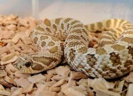 Hognose & Carpet Python