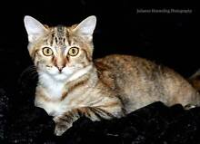Clover - KITTEN KAPERS RESCUE Cleveland Redland Area Preview