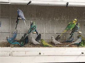 Budgies for sale £8 each.