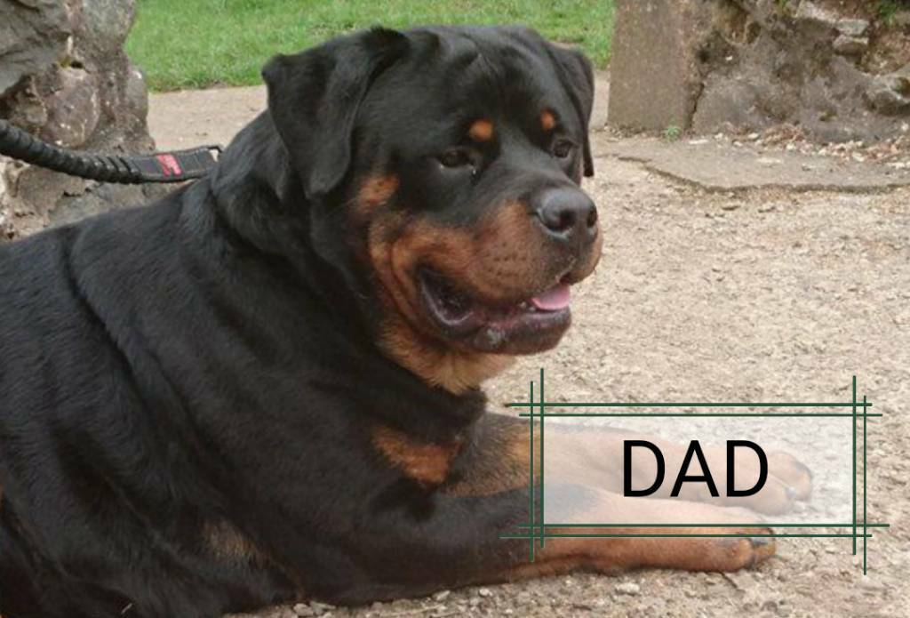 Kc Rottweiler Pups In North Ayrshire Gumtree