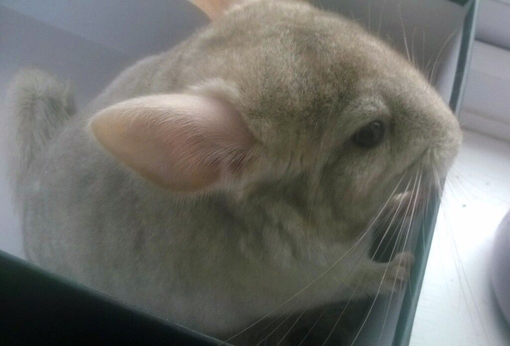 Baby Chinchilla Boy Sapphire Beige colour 3 Months old for Sale
