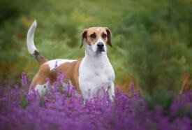 Beagle Harrier puppies