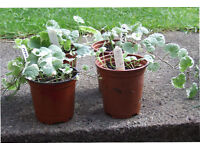 NEPETA TRAILING in 9cm pots at £0.50 each.