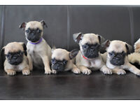 Frug - French Bulldog x Pug - Puppies for sale