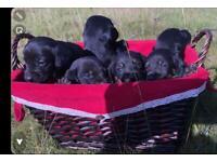 Miniature dashound puppies