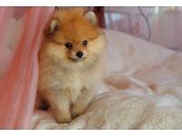 Miniature Pomeranian girl pedigree